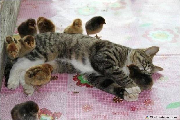 A Sleep Cat With Chicks