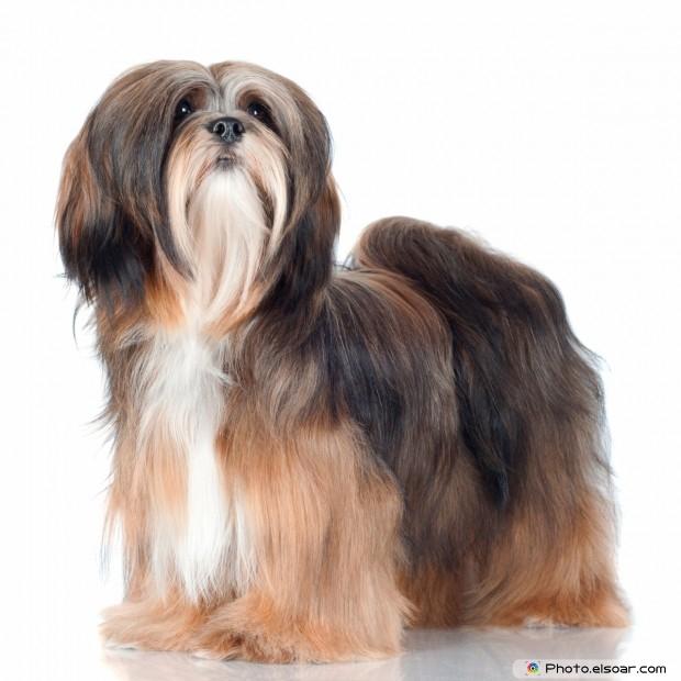 Amazing Lhasa Apso Dog