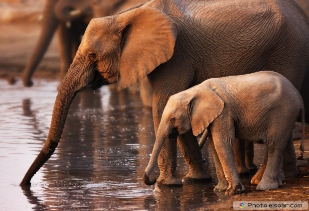 Baby Elephant And His Mom