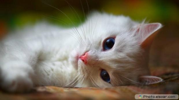 Beautiful+Cute Cat C