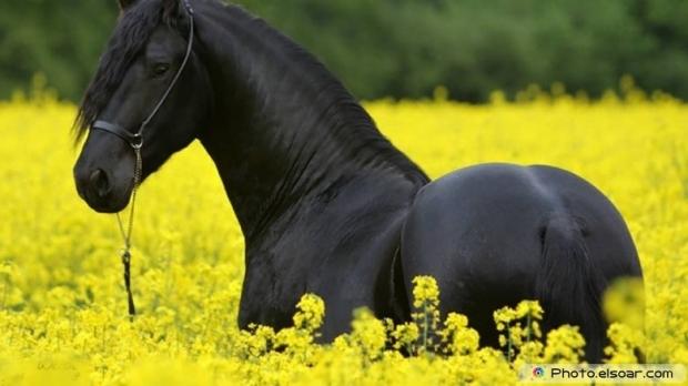 Beautiful Black Horse B