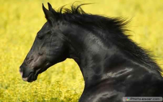 Beautiful Black Horse F