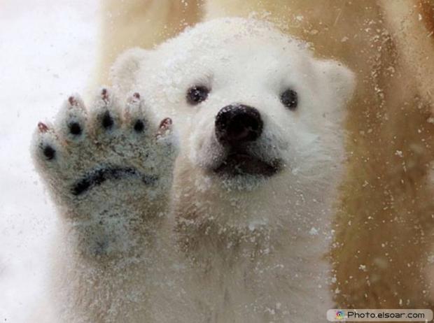 Beautiful Polar Bear Babie A