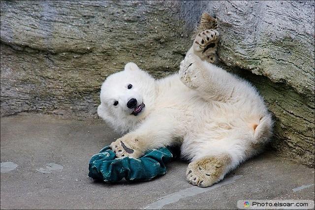 Beautiful Polar Bear Babie B