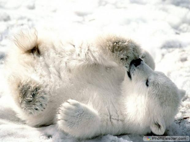 Beautiful Polar Bear Babie D
