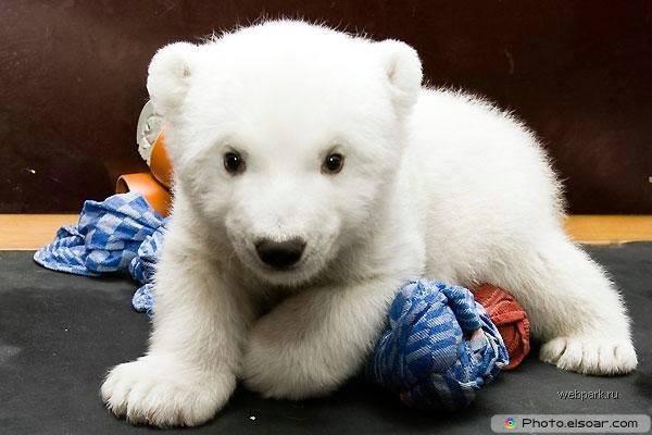 Beautiful Polar Bear Babie E