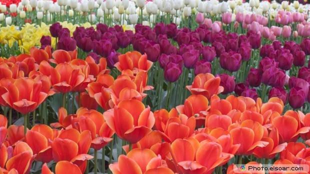 Beautiful Tulips. Free HD Wallpaper