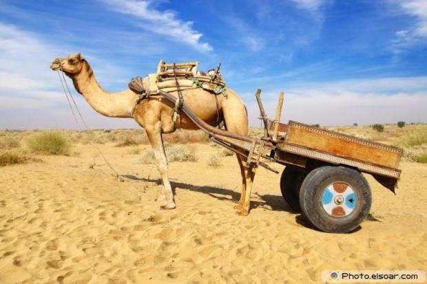Camel in the desert background