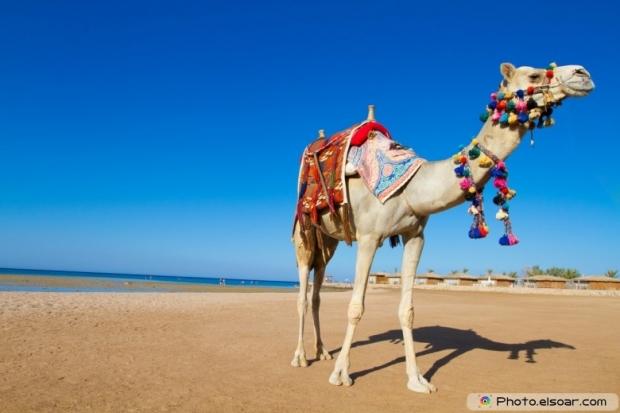 Camel in the desert hd wallpaper