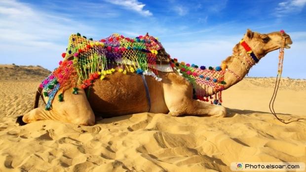 Camel in the desert image