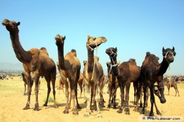 Camel in the desert photoes