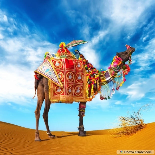 Camel in the desert pic