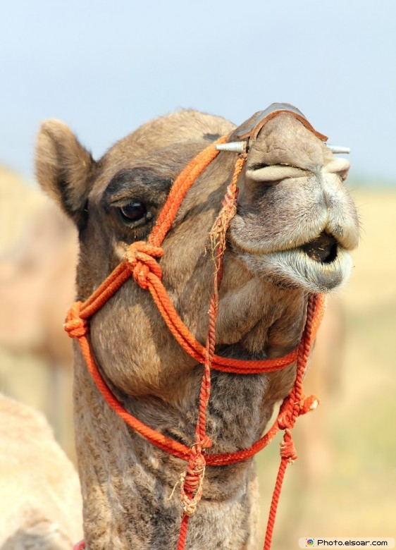 Camel in the desert picture