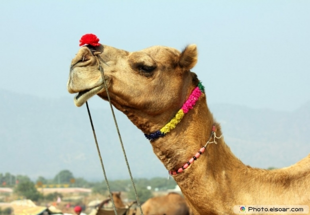 Camel in the desert wallpaper