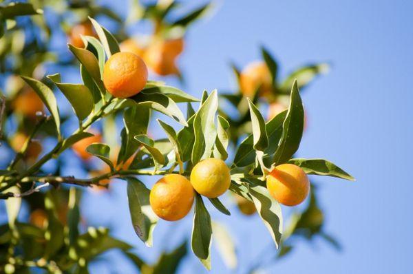 Fruit trees, Photo, Citrus trees