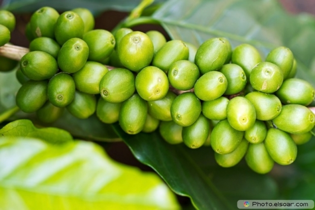 Coffee tree with green raw berries