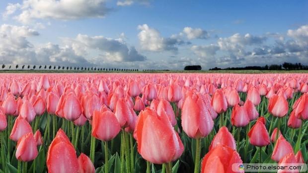 Colorful Tulipe. Free HD Wallpaper
