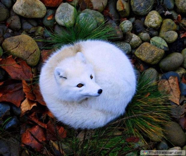 Cute Adorable Arctic Fox A
