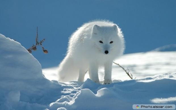 Cute Adorable Arctic Fox B