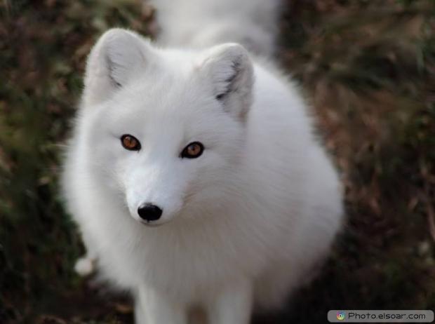 Cute Adorable Arctic Fox C