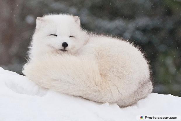 Cute Adorable Arctic Fox D