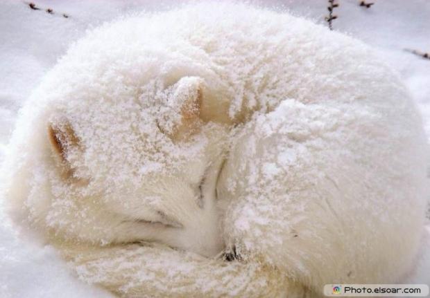 Cute Adorable Arctic Fox E