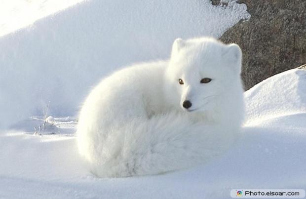 Cute Adorable Arctic Fox G