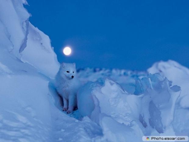 Cute Adorable Arctic Fox H