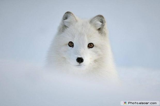 Cute Adorable Arctic Fox I