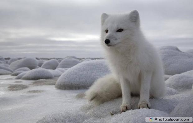 Cute Adorable Arctic Fox L