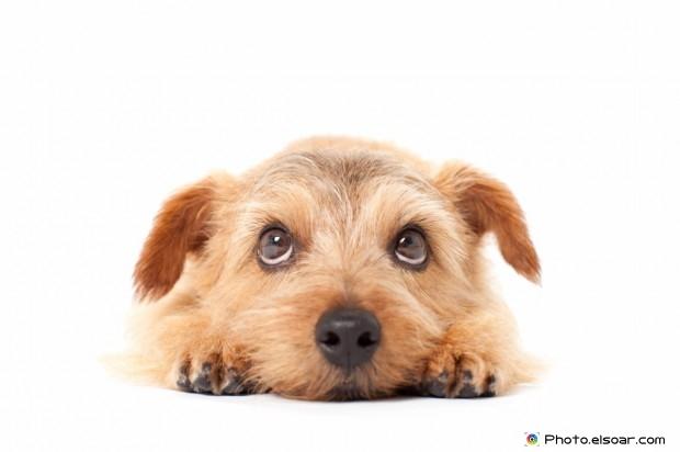 Cute Image Of Norfolk Terrier Dog
