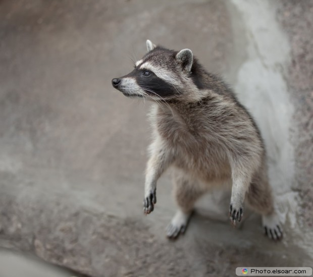 Cute Picture Of Raccoon