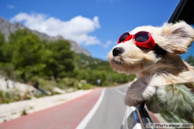 Cute dog in the car
