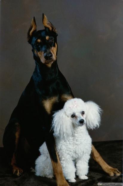 Doberman Pinscher Toy Poodle - Cute Image
