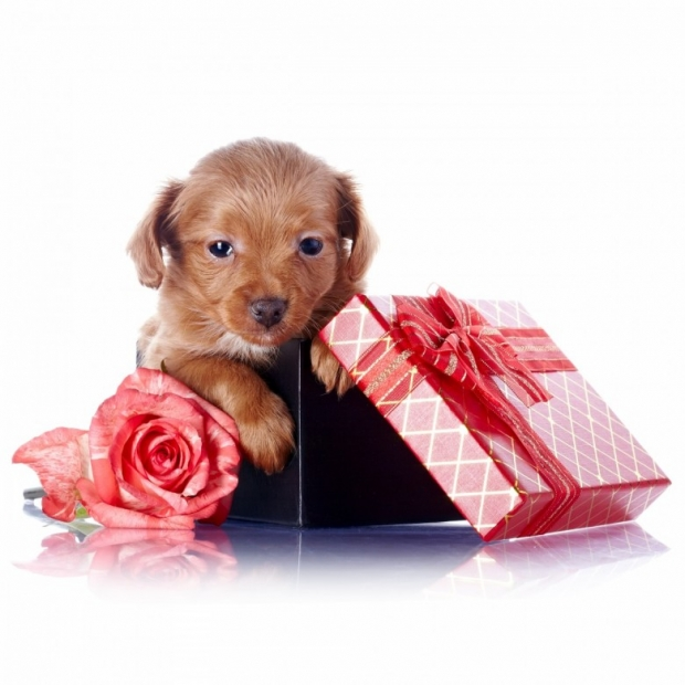 Dog with gift box and flower