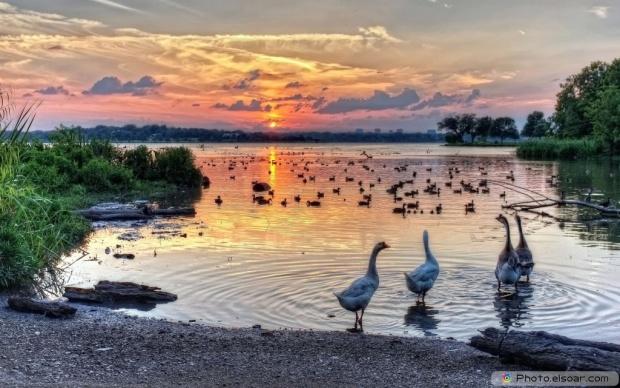 Ducks In The Water At At Sunset