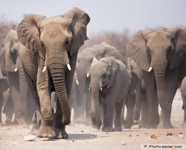 Elephants Approaching Over The Dusty Plains