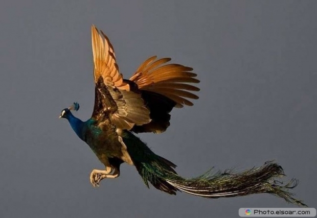 Flying Peacock B