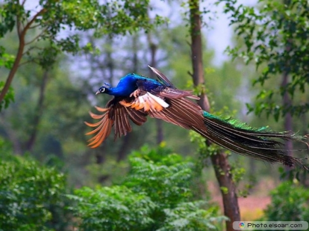 Flying Peacock Image