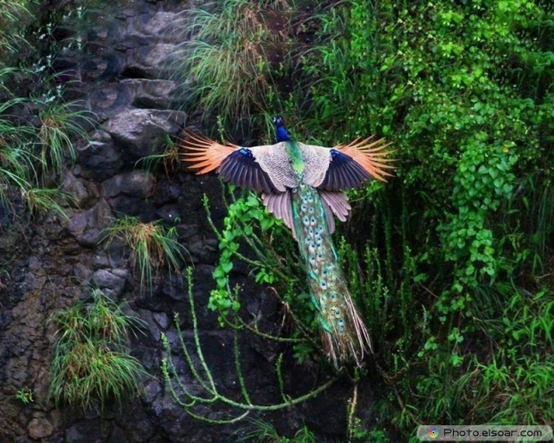 Flying Peacock Photo
