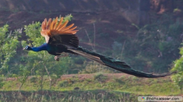 Flying Peacock Pic