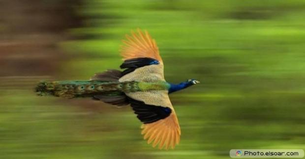 Flying Peacock Shot