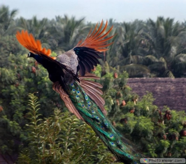 Flying Peacock Wallpaper