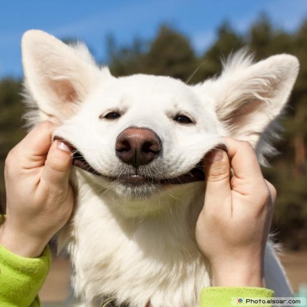 Funny Swiss Shepherd dog