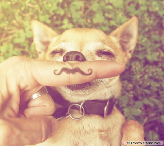 Funny chihuahua with a mustache finger