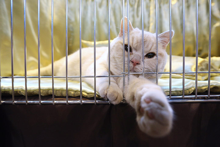 A cat reclines in its pen before being judged