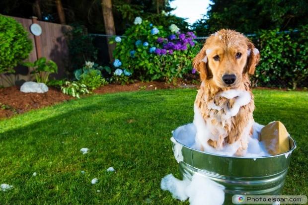 Golden Retriever Dog With Soap