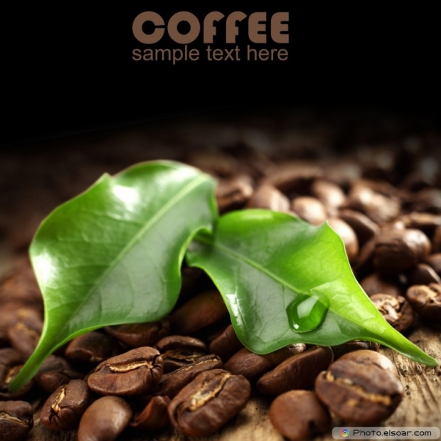 Green leaves of coffee