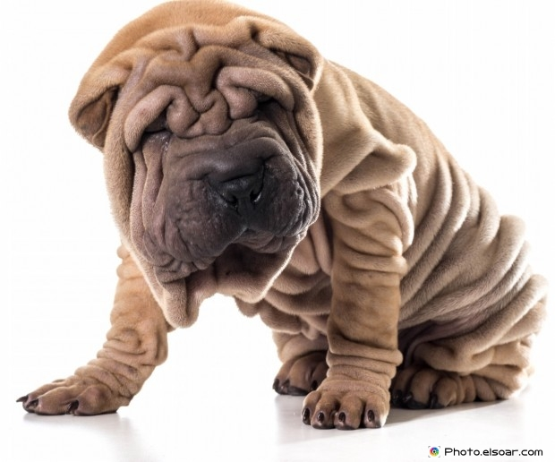 Hair Dog With Wrinkled