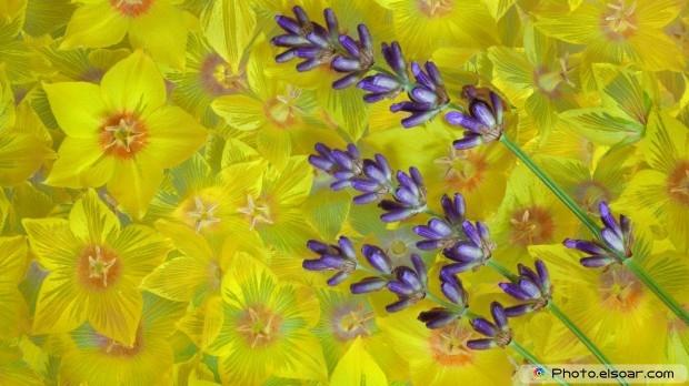 Lavender. Free HD Wallpaper